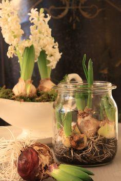 bulbs in large kilner jars Garden Bulbs, Planting Bulbs, Planting Flowers, Bulb Flowers, Flower Pots, Begonia, Indoor Garden, Indoor Plants, White Hyacinth