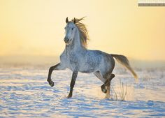 Photos of horses of Russian breeds by Ekaterina Druz Equine Photography All The Pretty Horses, Beautiful Horses, Animals Beautiful, Horse Photos, Horse Pictures, Zebras, Campolina, Majestic Horse, Horse World