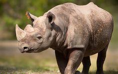 Télécharger fonds d'écran rhinocéros, de l'Afrique, de la faune, les animaux dangereux
