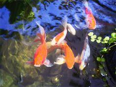 Hungry fish in backyard koi pond