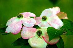 Dogwood spring time by Sandra Walters