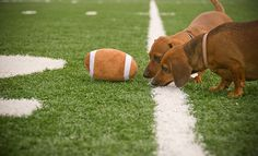 Substitute referees #doxie #Dachshund