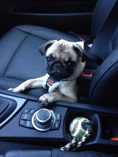 Little pug is ready to go for a ride