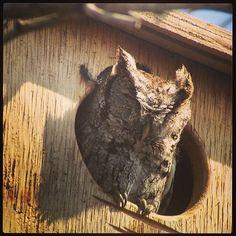 Wind-blown screech-owl