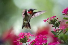 Ruby Garden Jewel by Christina Rollo. Male Ruby-Throated Hummingbird (Archilochus colubris), in flight in flower garden with pink Verbena flowers.   SHOP MY COMPLETE COLLECTION AT:  www.rollosphotos.com   You can collect more birds from this set in my hummingbirds gallery.