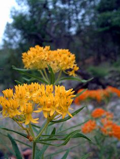 Butterfly Weed, otherwise known as Pleurisy weed.