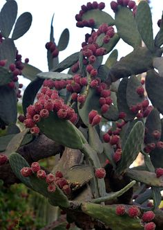 Opuntia with red fruit in Holon cactus park Cactus Park, Red Fruit, Israel, Plants, Plant, Planets