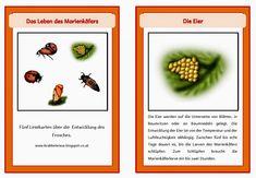 krabbelwiese: Lebenszyklus Marienkäfer