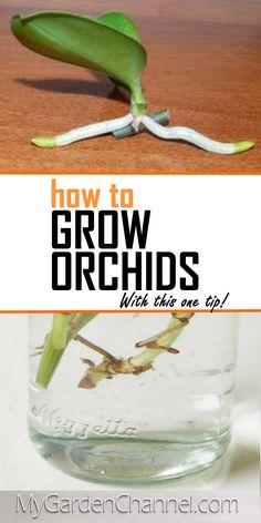 Indoor Orchids, Orchids Garden, Garden Plants, Indoor Plants, House Plants, Orchid Plant Care, Orchid Plants, Growing Orchids, Growing Plants