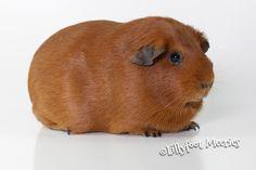 Lillyfoot Glatthaar Meerschweinchen in Rot. :o))