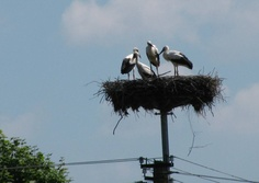 Storks in Greater Poland