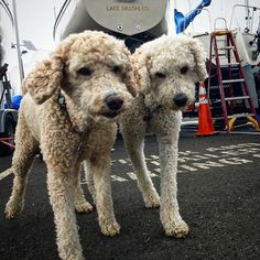 Jake and Emma are hanging out in the #Frisco #marina as their owner gets his #sailboat ready! Opening weekend!! #Colorado #dogsofinstagram #labradoodle #boats by mattk719