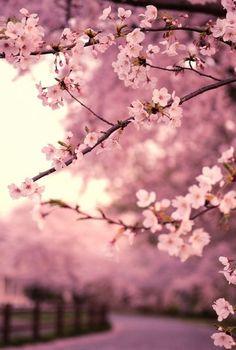 #Sakura #Cerezos #Beautiful