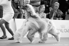 Afghan Hound, Dog Show, Milan, Game Of Thrones Characters, Dogs, Photography, Fictional Characters, Photograph, Doggies
