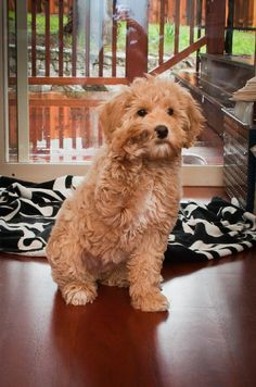 so adorable. labradoodle