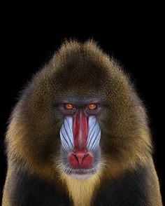 Les yeux dans les yeux avec les animaux. Le photographe Brad Wilson, 51 ans, a signé une série de portraits magnifiques de tigres, chimpanzés ou autres éléphants et rhinocéros. Cela fait cinq ans qu'il parcourt les sanctuaires et zoos des Etats-Unis pour cette série de clichés époustouflants.