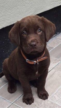 Labrador Retriever Chocolate, Perro Labrador Retriever, Labrador Puppies, Retriever Puppies, Golden Retriever, Cute Puppies And Kittens, Cute Baby Dogs, Lab Puppies, Cute Little Animals