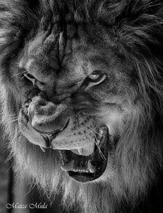 Nature Photography Forest Wood Travel 28 New Ideas Lion Images, Lion Pictures, Lion Wallpaper, Animal Wallpaper, Image Lion, Wildlife Fotografie, Lion Photography, Adventure Photography, Modern Photography
