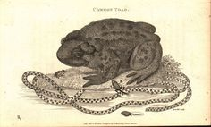 Common Toad 1809 Original Antique Engraving Print by Shaw & Griffith