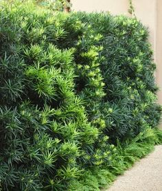 podocarpus macrophyllus maki   Great choice for a privacy hedge!  Evergreen, compact (with sufficient sun). Takes shearing well. Slow-moderate growing.  6-12'tall x 3-4' wide can grow larger with time.