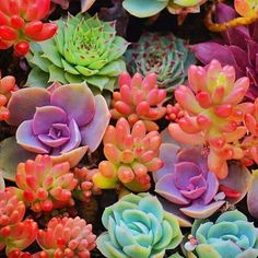 Colorful succulents that look like coral. Idea: Put these inside a box and hang like a frame on the wall