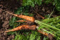 Fresh carrots at Fern Varrow Biodynamic Farm.