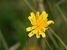 Leontodon autumnalis (Redirected to scorzoneroides autumnalis), Fall dandelion (Rare)