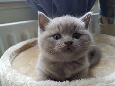 Pedigree British Shorthair Kittens GCCF REG   Stone, Staffordshire   Pets4Homes Pet Breeds, Puppy Breeds, Cat Skin, British Shorthair Kittens, Sleeping Kitten, Kitten For Sale, Animal Activities, Large Animals