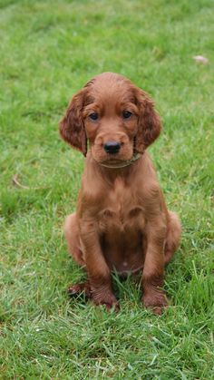 Irish Setter puppy. This little guy looks like Barney our Irish Setter..