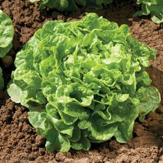 Compact plants, in height with a spread, withstand heat and generally do not bolt. Succession Planting, Companion Planting, How To Harvest Lettuce, Lettuce Vegetable, Plant Bugs, Soil Ph, Compost, Weed, Vegetables
