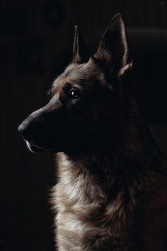 German Shepherd: