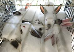 Fashion Week Investigation Links Top US & International Fashion Brands with Animal Cruelty on Rabbit Farms