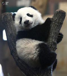 Cría de Panda Gigante