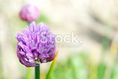 Flowering Chive Blossom Royalty Free Stock Photo The Colour Of Magic, Chive Blossom, Closer To Nature, Image Now, Royalty Free Stock Photos, Pastel, Purple, Plants, Cake