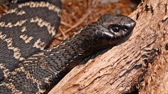 The Rinkhals or Ringhals is a venomous snake found in parts of southern Africa. Like other Elapidae species, the rinkhals isnt a true cobra species. Inland Taipan, Grassland Habitat, Sea Snake, Boa Constrictor, Baby Carrying, Snake Venom, Female Names