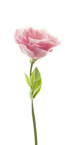 Hydrangea Flower, Flower Wallpaper, All The Colors, Bloom, Clip Art, Pasta Flexible, Plants, Cards, Backgrounds