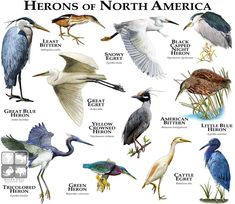 Herons of North America.....ROGER D HALL.....a scientific illustrator specializing in wildlife and architectural subjects....predominantly self-taught....works with pen and ink....artwork has appeared in numerous media (newspaper, books, website, etc)....a Minnesota native now based in Oakland, California....associated with several zoos and aquariums in the US