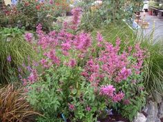 """Agasstache mexicana """"Sangria"""" Deliciously lemon scented pink-crimson salvia-like flowers are borne on 12"""" spikes on this wonderful garden-worthy Hyssop. It makes an upstanding plant 3'-4' tall & 2' wide. Bees & hummingbirds adore it and you can eat or make tea out of the young leaves! EASY!"""