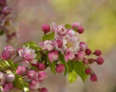 Lovely apple blossoms on soft background