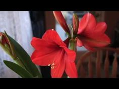 "Amaryllis Awakening - a time lapse video of an amaryllis bud opening. The harp music is ""A Garden Stroll"""