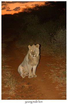 Early evening game drive, Madikwe Safari Lodge, South Africa Panther, South Africa, Safari, Game, Animals, Animales, Animaux, Panthers, Gaming