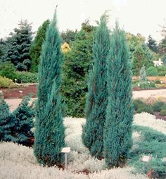 Privacy Trees, Garden Privacy, Trees And Shrubs, Trees To Plant, Blue Arrow Juniper, Landscape Design, Garden Design, Front Courtyard, Landscape Designs