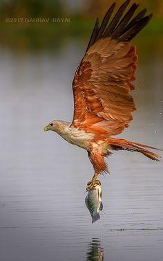 The great catch a Brahminy kite  #wildlife #bird #birdphotography #nature
