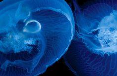 National Aquarium – Moon Jellyfish