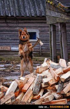 Come up with your own caption using our newest verb tense: el dueno duda que el perro haya cortado toda la lena en ese monton.