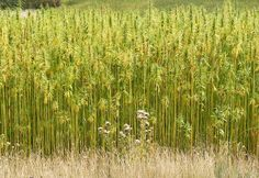 THE GREAT HEMP EXPERIMENT BEGINS WILL THE END OF POT PROHIBITION UNLEASH A SECOND AGRICULTURAL REVOLUTION FUELED BY HEMP?