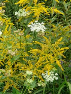 Goldenrod - good for cuts, etc