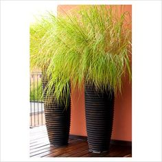 Containers of Pennisetum 'alopecuroides'