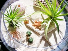 "Beachy Turtle Terrarium with SeaUrchin -White & Sugar Starfish 8"" Glass Bowl Terrarium Kit w 2 Air Plants - 2 turtles - Centerpiece - Gift"