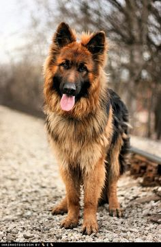 love german shepherds
